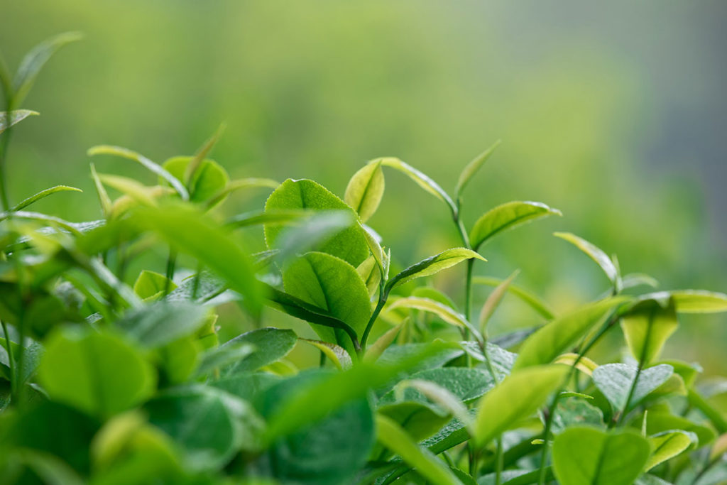 Teacrine from chinese tea plant as a nootropic for social anxiety